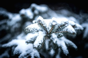 conifer tree, snow, fir, frost, frozen, ice