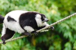 animal, wild, wildlife, rope, lemur, monkey
