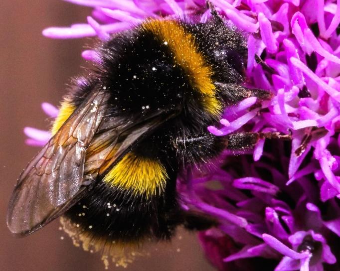 Kostenlose bild blume fliegen honigbiene insekt for Blumen fliegen