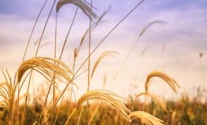 pole, zemědělství, ječmen, semen, sláma, léto, farma, plodiny, zemědělské půdy