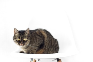 animal, domestic cat, vertebrae, chair, pet