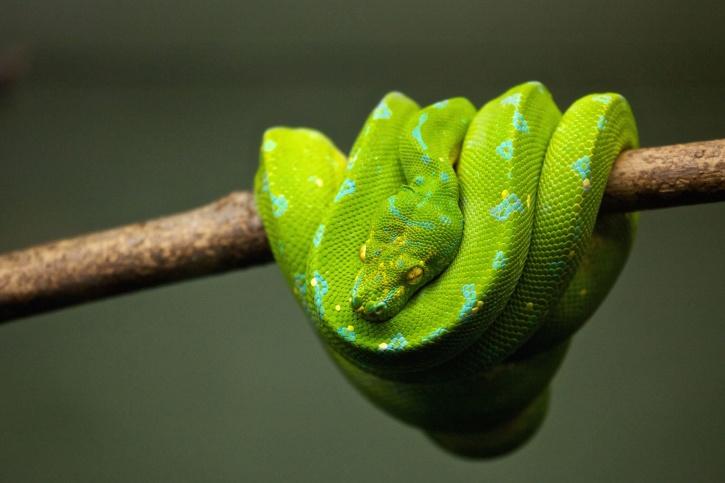 Foto gratis pitone rettile serpente fauna animale - Serpente collegare i punti ...