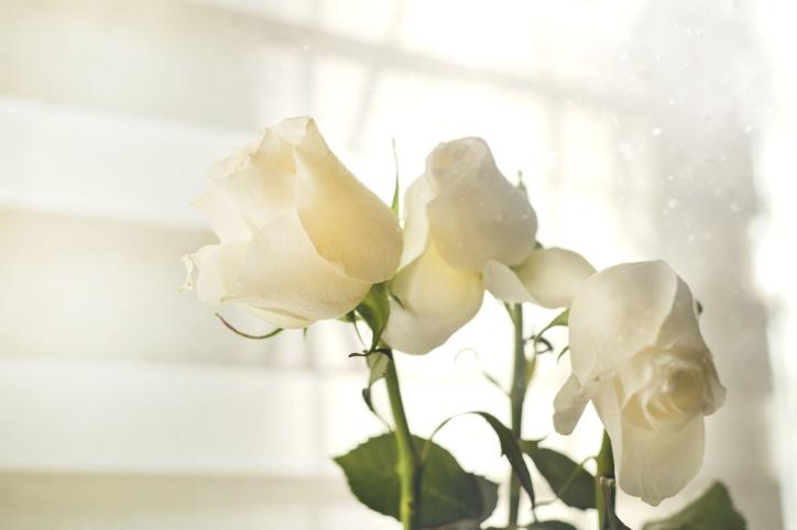 frisch, Blatt, Blütenblätter, Romantik, Romantik, Rosen, weiß