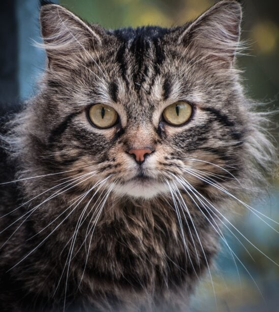 domestic cat, pet, gray, kitten, vertebrate, pet, whisker, young