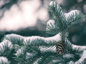 borova stabla, snijeg, drvo četinjača, zima, drvo, pahuljica