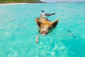 pig, sea, swimming, water, animal, beach, bird