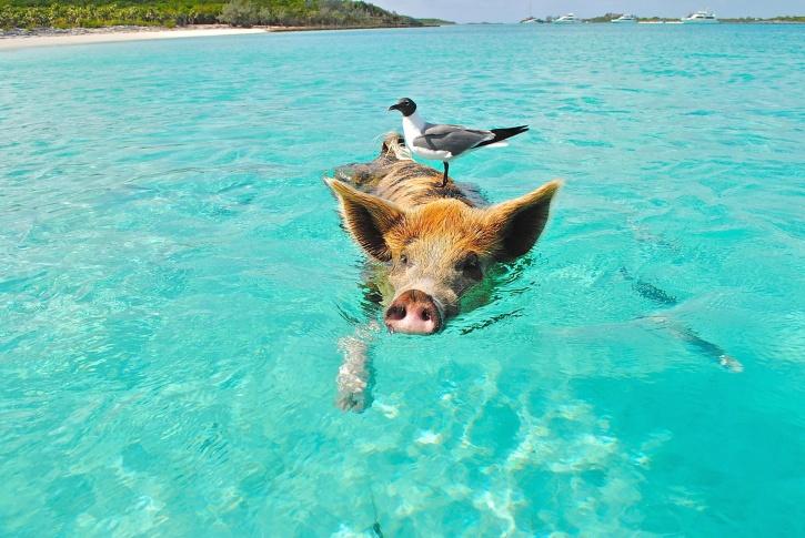 pig, sea, swimming, water, animal, beach, bird