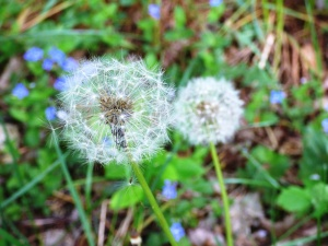 dandelion, flora, flowers, grass, macro, plant
