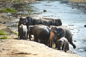 elephant, Africa, environment, family, herd, animals, vertebrate