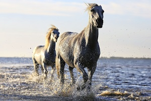 horse, stallion, water, white, wildlife, animal