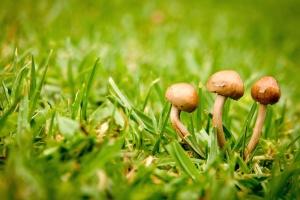 gljiva, trave, zemlje, travnjak, gljiva