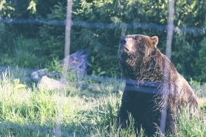 erba, animale, orso, selvatico, fauna, vertebrato