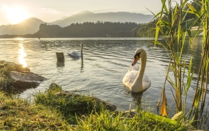 swan, bird, grass, lake, reflection, animal, dawn