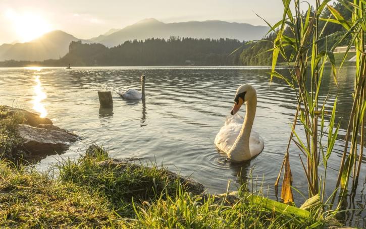 swan, bird, grass, lake, reflection, animal, dawn