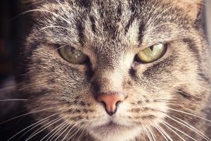 animal, chat, chat domestique, la tête, les yeux, moustache, animal, chaton