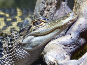 alligator, animal, eye, head, lizard, reptile, mouth, nature