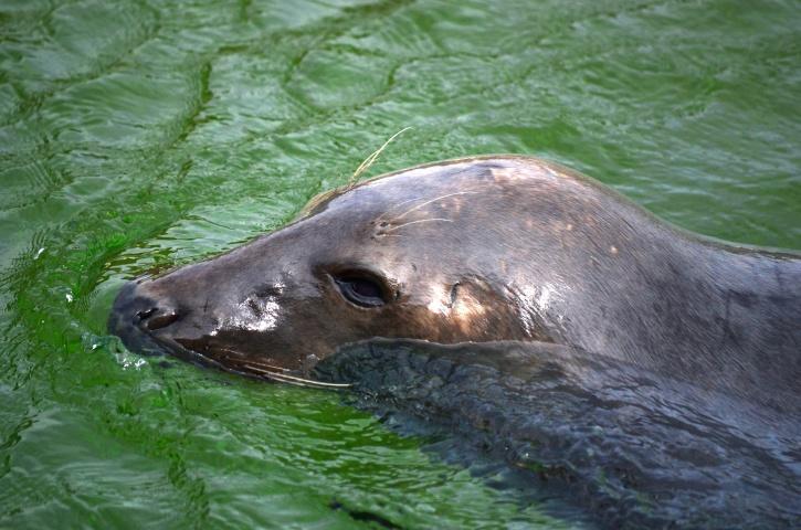 sea lion, water, animal, photography