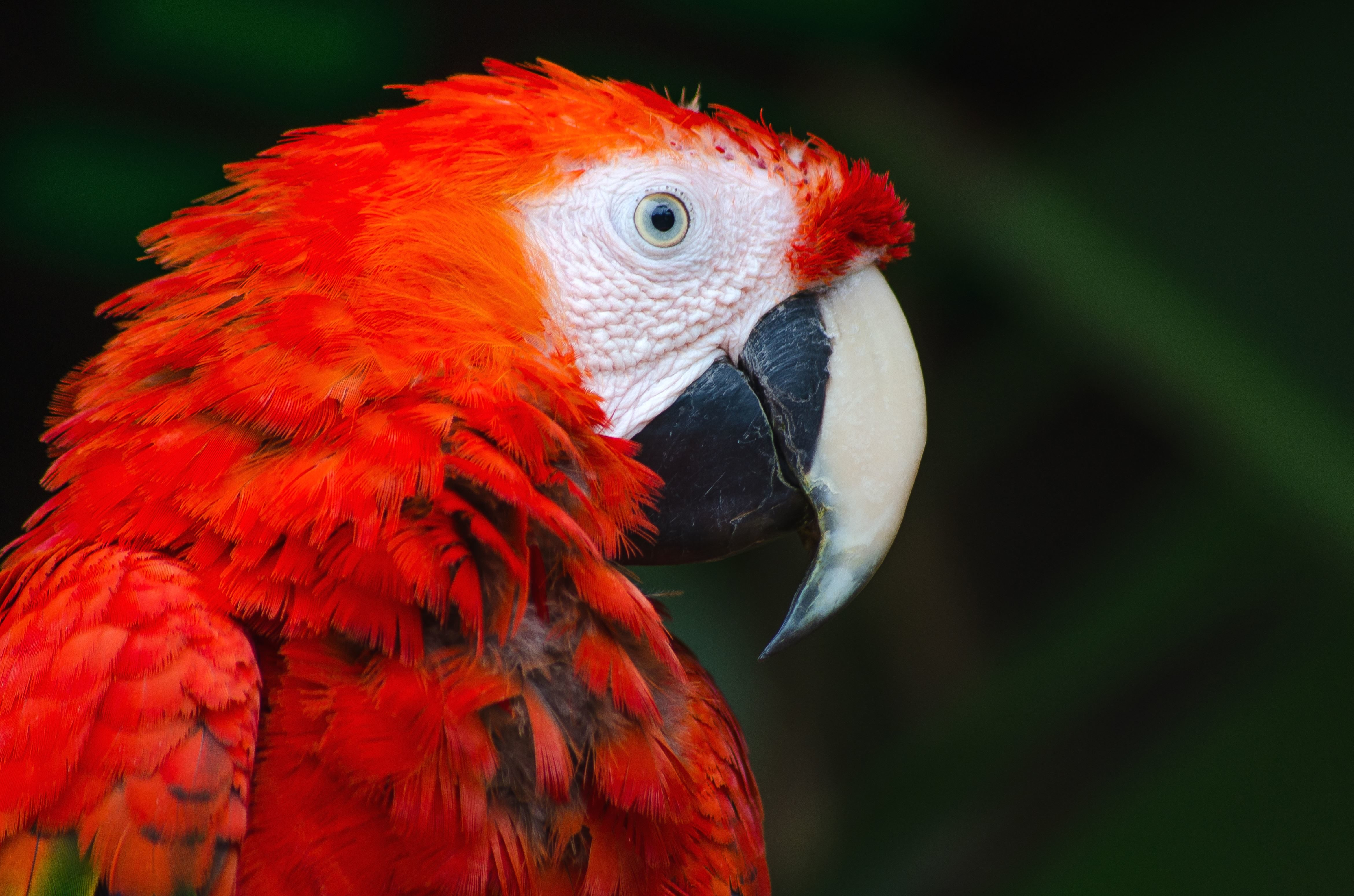 Free Picture Macaw Parrot Nature Parrot Animal Bird