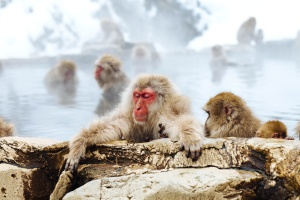 vinter, animal, ape, gruppe, lille, pattedyr, aber
