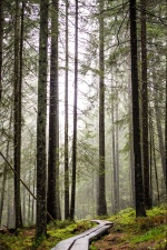 environment, conifer tree, fog, forest, grass, landscape, nature