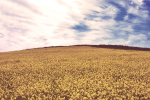 yellow, flowers, blue, sky, countryside, crop, cropland, field
