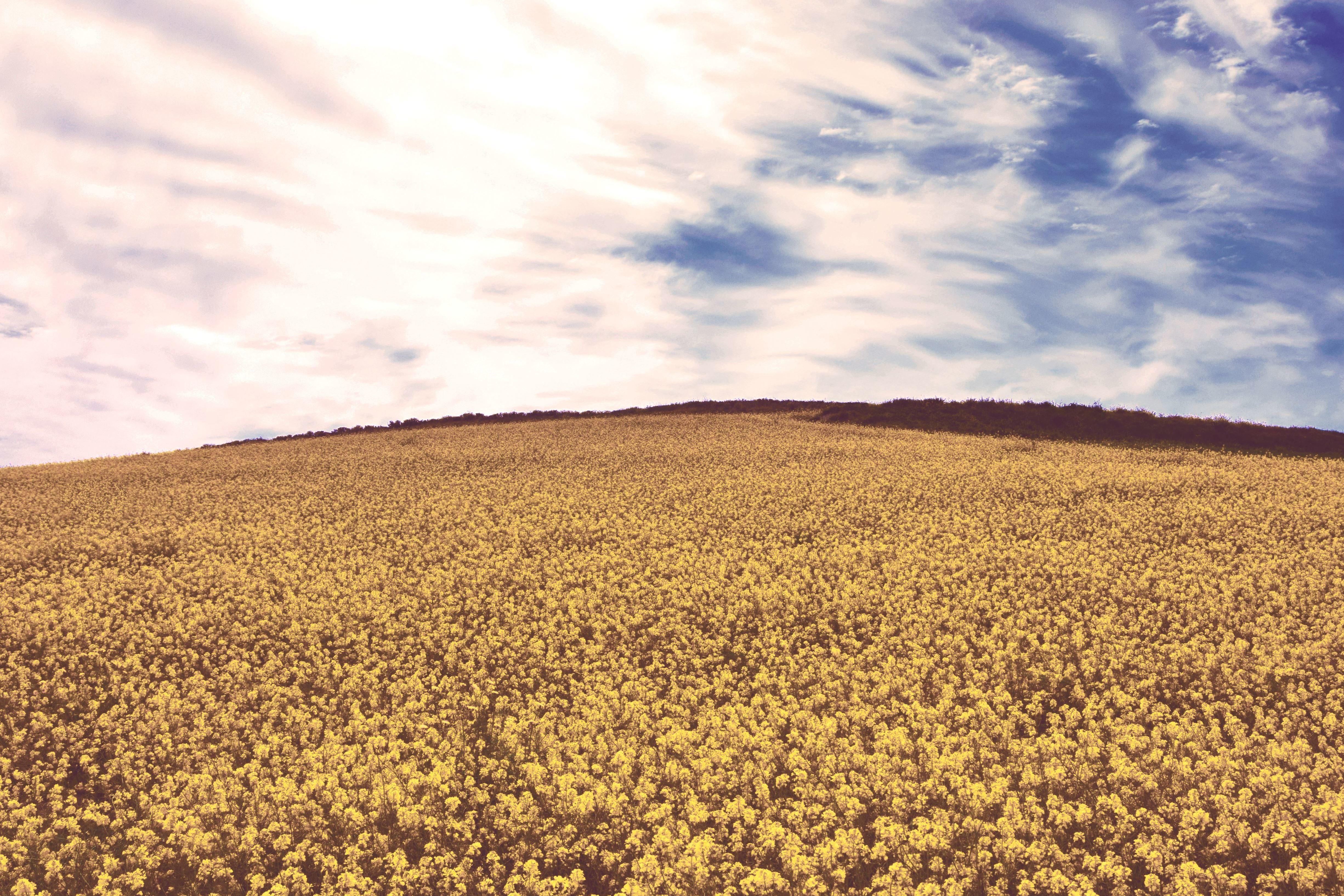 Free picture yellow flowers blue sky countryside crop yellow flowers blue sky countryside crop cropland field mightylinksfo