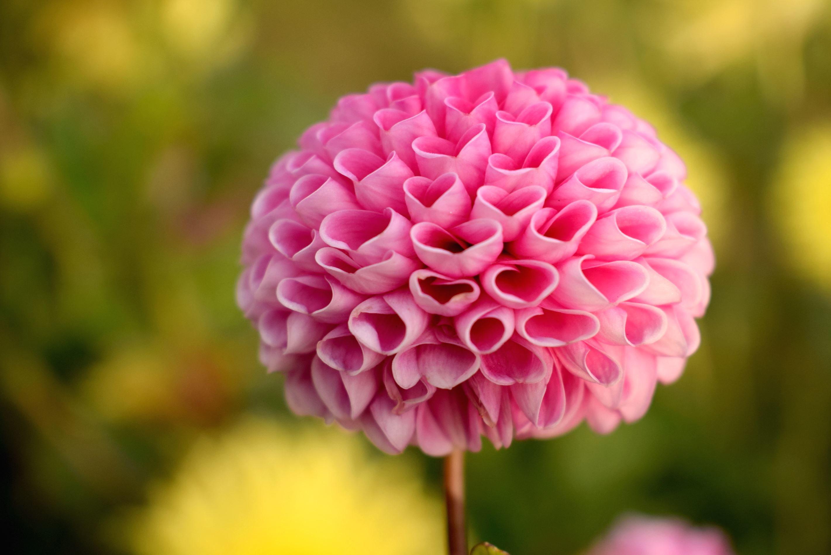ücretsiz Resim Yaprakları Pembe Sezon Yaz Güzel çiçek çiçek