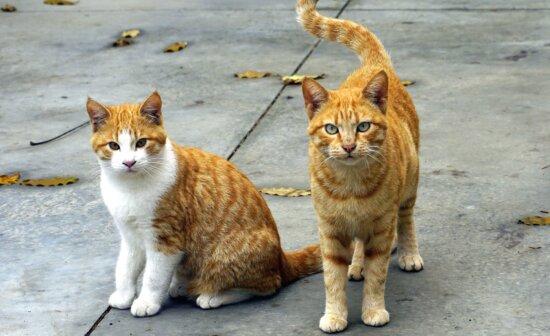 cats, domestic cat, animals, kitten, feline, paw, pets, kittens