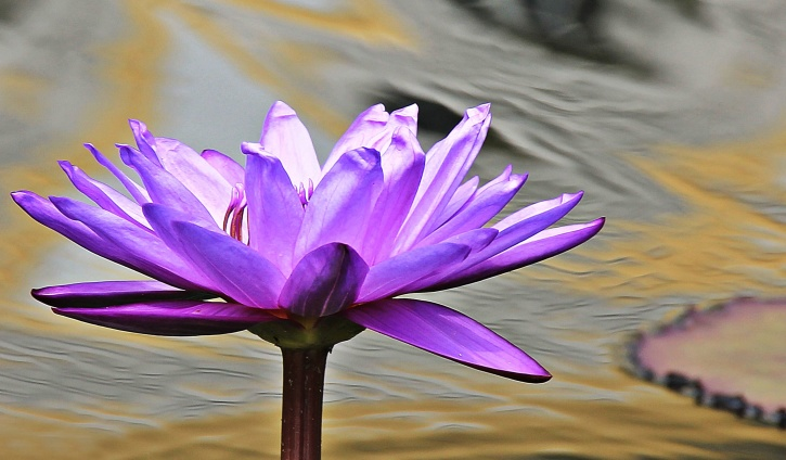 water lily, flower, aquatic plant, lotus, bloom, blooming, blossom, exotic, flora