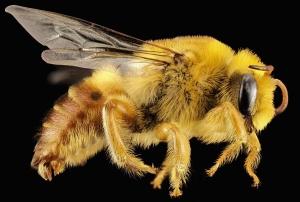 Biene, Makro, Insekt