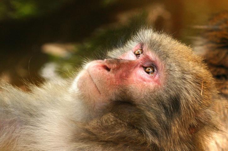 dziki, zwierząt, małpa, prymas, twarz