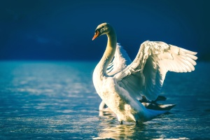 swan, animal, beach, beautiful, bird, feathers, lake, nature, wings