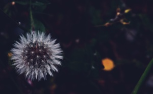 dandelion, plant, white, flower
