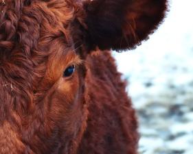 cattle, cow, eyes, animal, farm, fur, livestock