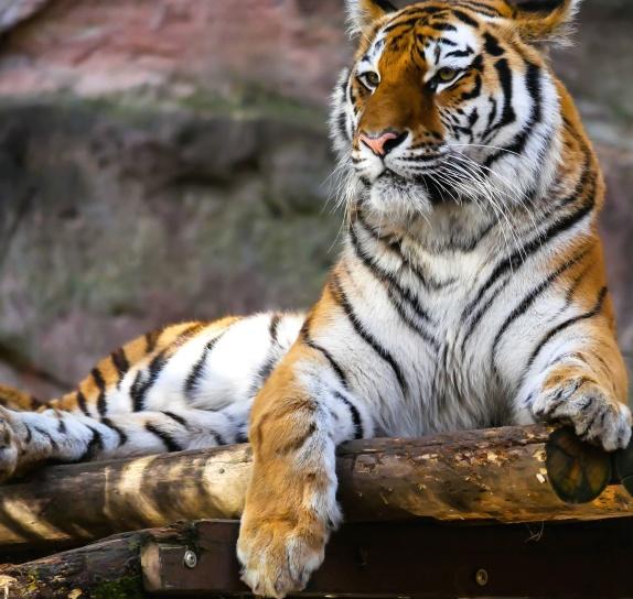 animal, tigre, photographie, chat, nature, Afrique, tigre, sauvage, félin