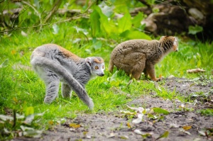 lemur, fur, grass, leaves, primates, tail, wildlife