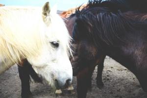 horse, animals, mammals