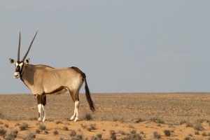 antelope, animal, desert, grass, horns, sky