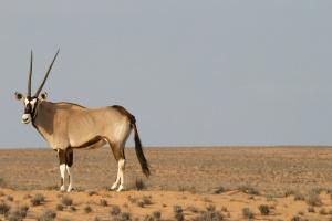 antílope, animal, desierto, hierba, cuernos, cielo