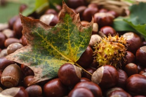 acorn, autumn, brown, chestnuts, nutrition, ripe, kernel