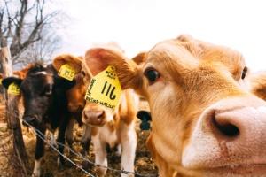 cow, agriculture, calves, animal, farm, fence, livestock