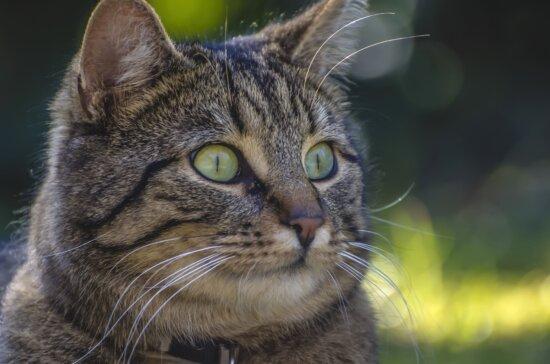 whiskers, pet, animal, portrait, domestic cat, eyes