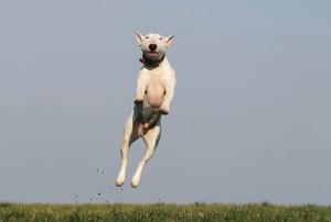 chien, champ, herbe, animal familier, animal, sauter