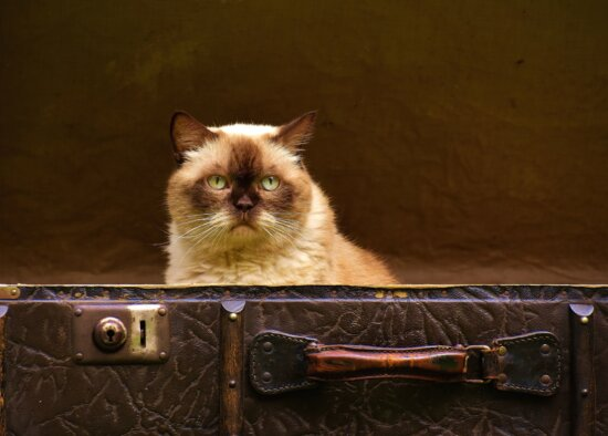 kitten, shorthair, animal, cat, cute, domestic, feline, fur