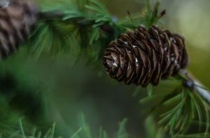 conifera albero, ornamento, pino, albero