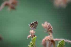 Insecte, papillon, vert, plante
