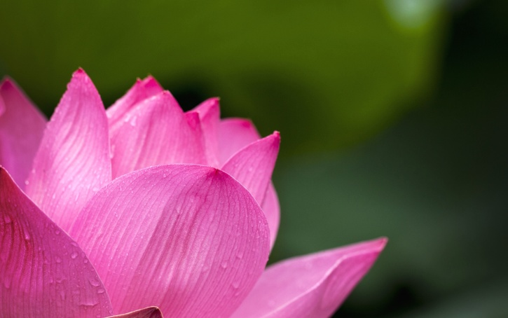 water lily, lotus, petals, nature, pink, bloom, blossom, flora, flower