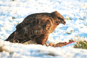 hawk, animal, avian, beak, bird, carnivore, snow, winter