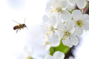 Pszczoła, owad, kwitnące, kwiat, dziki, skrzydła, płatki, pyłek