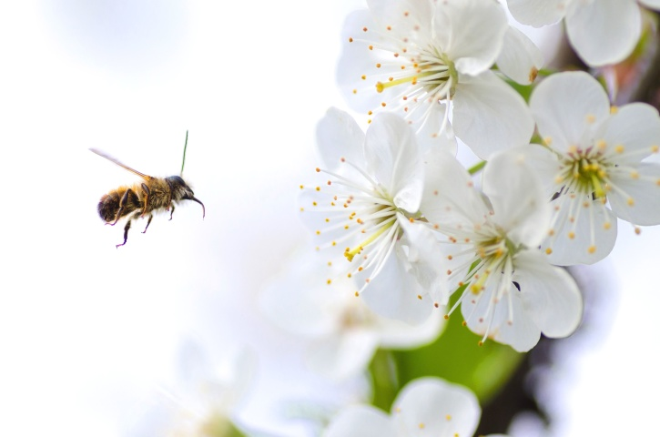 bee, insect, bloom, blooming, blossom, wild, wings, petals, pollen